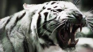 УЖАС! Сбежавший из зоопарка Тбилиси тигр напал на человека! Новости, сегодня, наводнение, Грузия