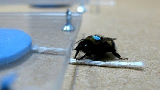 Bees are more intelligent than previously thought
