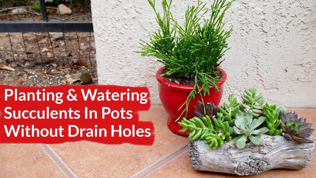 Planting Watering Succulents In Pots With No Drain Holes Joy Us Garden