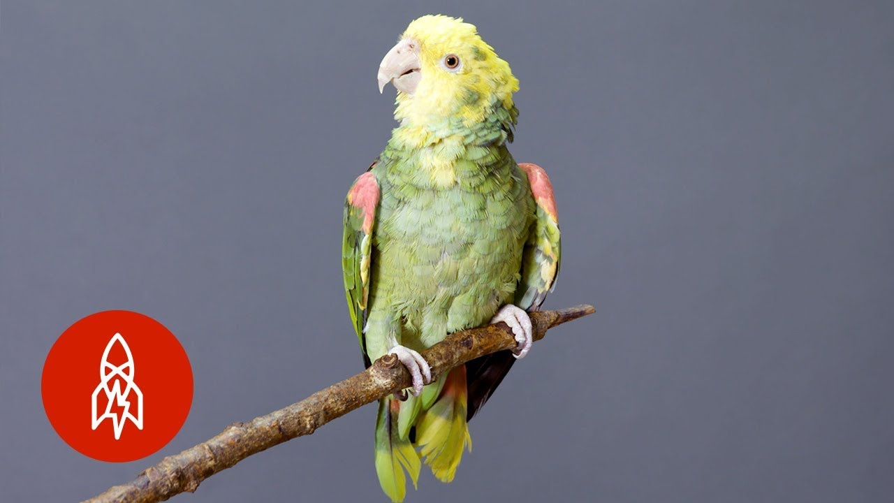 This Brightly-Colored Parrot is On the Brink of Extinction