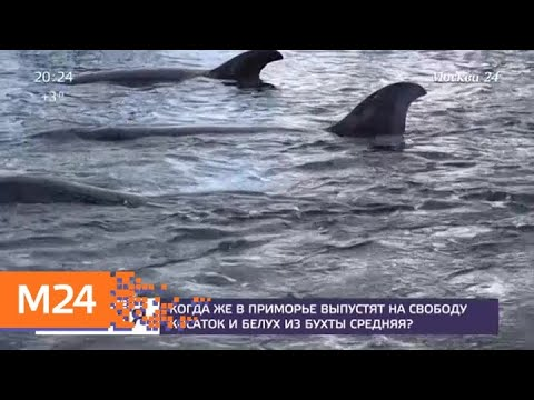 Когда в Приморье выпустят на свободу косаток и белух из бухты Средняя - Москва 24