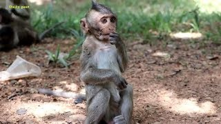 Cute baby monkey going forage, adorable monkeys looking food video, lovely baby monkeys eating video