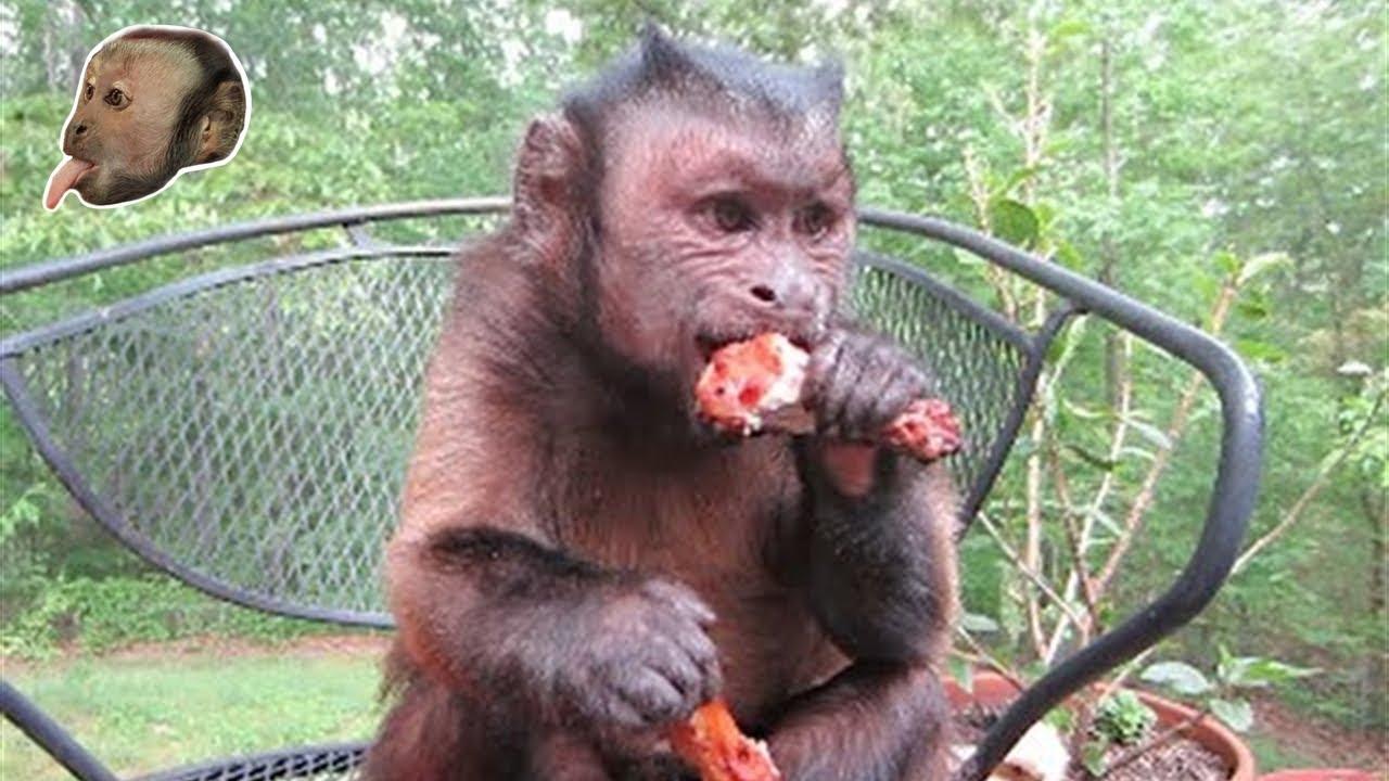 Capuchin Monkey & Grilled Chicken Legs!