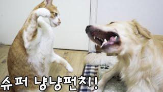 골든리트리버는 고양이에게 몇번이나 맞아줄까?