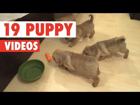 19 Funny Puppy Videos | Funny Pet Video Compilation 2017