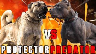 Kangal vs American Pitbull Terrier | Pitbull vs Kangal | Powerful Guard Dog? | Billa Boyka |