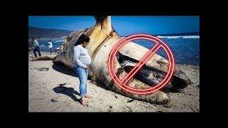 لماذا لا يجب عليك الإقتراب من الحوت بعد موته ؟ خطير جداً !!
