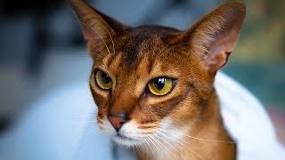 Абиссинская кошка - описание породы(http://gcats.ru/breeds/abissinskaya-koshka/ О породе Абиссинская кошка. Игривые и любознательные, любящие и дружественные -..., 2016-06-26T11:14:51.000Z)
