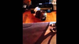Tank my English Bulldog puppy loves feet