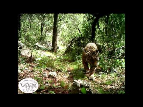 Exclusive video of El Jefe: America's only known wild jaguar conservation CATalyst
