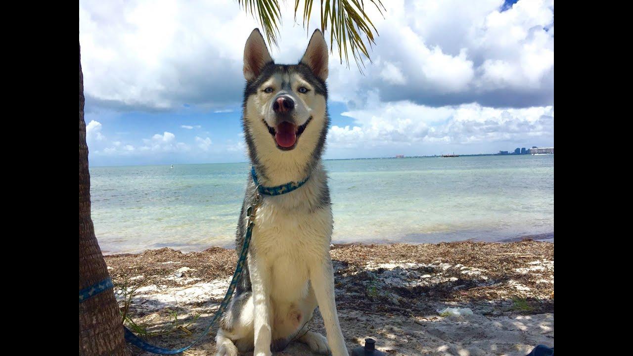 Husky Loves The Beach!