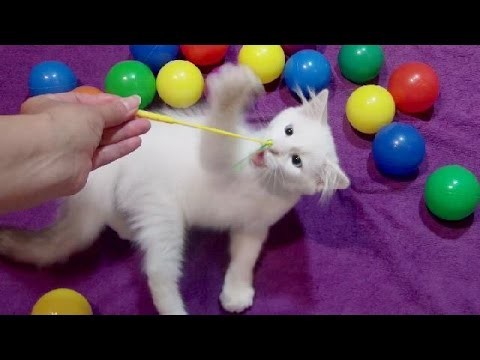 Play and Learn Colours with REAL Funny Cat - Balloons Finger Family Compilation
