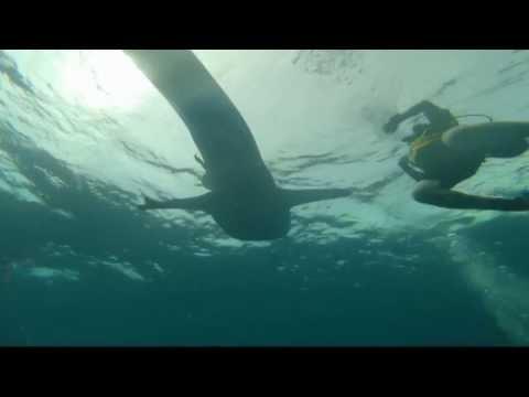 Cambodia Koh Prins Island - Whaleshark