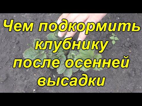 Чем нужно подкормить клубнику после осенней посадки.