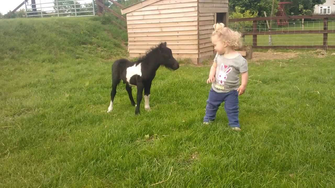 newborn miniature shetland foal gets friendly with young ... Pictures Of Baby Horses
