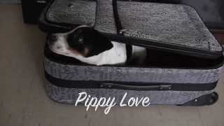 "Naughty Jack Russell Terrier Puppy In ""pippy Love"" Teaser"