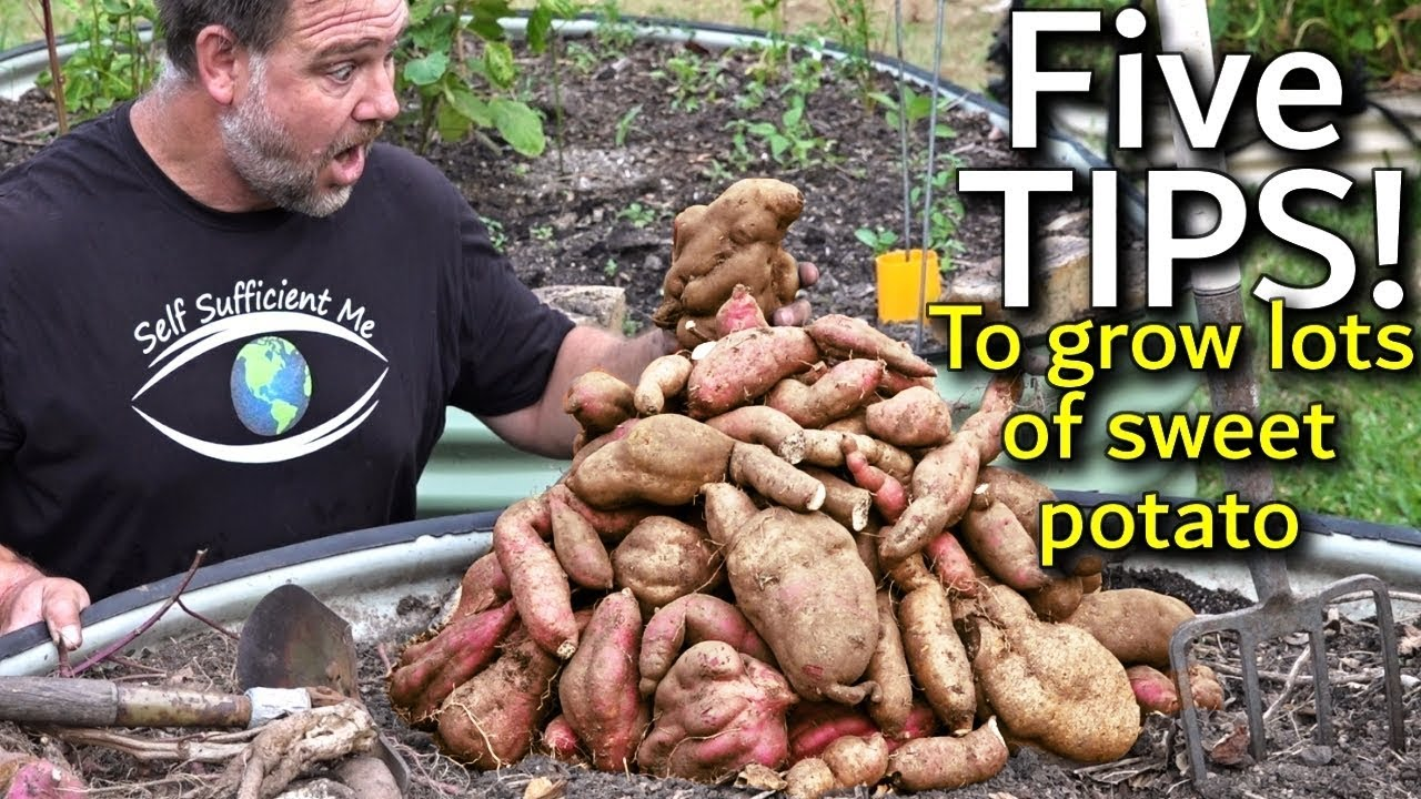 5 Tips How To Grow A Ton Of Sweet Potato In One Container Or