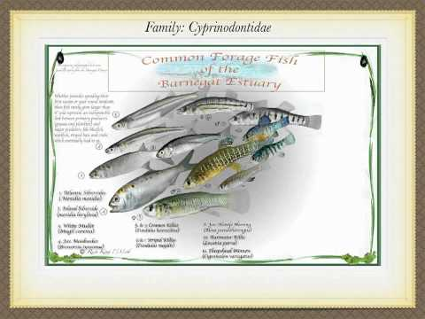 Forage fish video 3