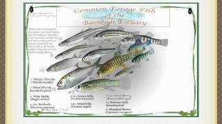 Forage fish video 3