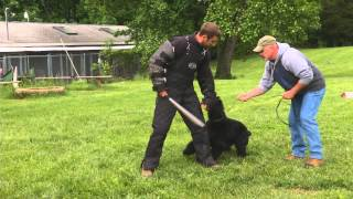 Giant Schnauzer And Cane Corso Protection Dogs For Sale