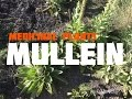 Medicinal, Edible and Useful Plants of the Southwest: Mullein (Part 5)