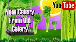 How to regrow  celery from the bottom part !!