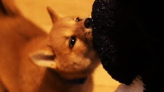 Playing With a Shiba Puppy for 10 Minutes