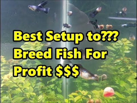 3 Profits 1 Tank, Breeding Fish For Profit