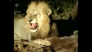 Беспощадный лев расправляется с раненым щенком гиены