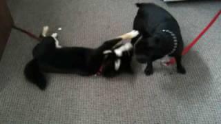 Shiba Inu, French Bulldog And Pug Hanging Out