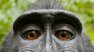 Qui a pris le selfie de singe ?