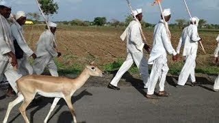 Increadible india- Deer on the way to pandharpur for wari