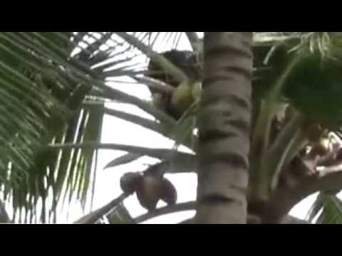Bear and drinking coconut water