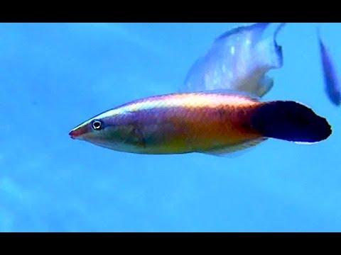 クチベニソメワケベラ Redlip cleaner wrasse Labroides rubrolabiatus