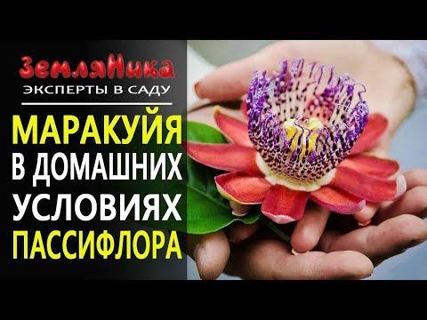 Как цветет маракуйя