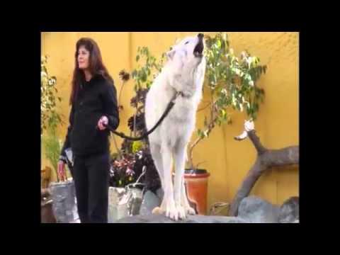 El lobo es una criatura asombrosa. Aquí la Prueba | NotiFriki