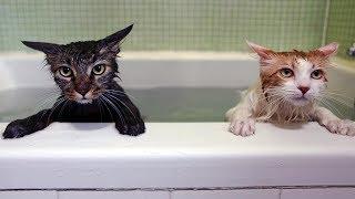 おかしい猫 - かわいい猫 - おもしろ猫動画 HD #221 https://youtu.be/l...