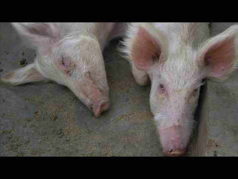 Shamba Shape Up Sn 07 - Ep 17 Pigs, Onions, Conservation Agriculture (Swahili)