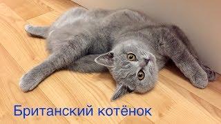 БРИТАНСКИЙ КОТЕНОК 4 месяца. ПОВЕДЕНИЕ британского котенка - как это было / British cat HARRY