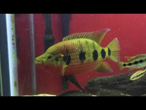 WC Hemichromis Fasicatus Male  Aggression Spot & Color change