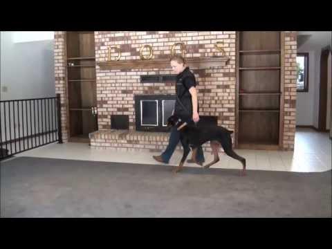 Nova (Doberman Pinscher) Boot Camp Training Video