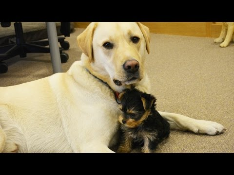 Blind Yorkshire Terrier makes a new friend