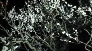 2015,3,14偕楽園夜梅祭