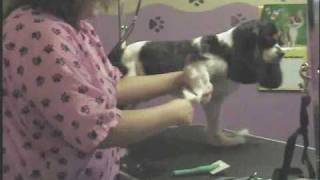 Cavalier King Charles Spaniel (pet Groom Part 2)