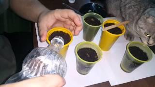 Выращивание сакуры в домашних условиях ЧАСТЬ 2(всем привет это моя группа вконтакте ----- https://vk.com/vsyakoe_iz_kitaya всем привет это моя группа в однакласниках..., 2015-08-14T17:34:02.000Z)