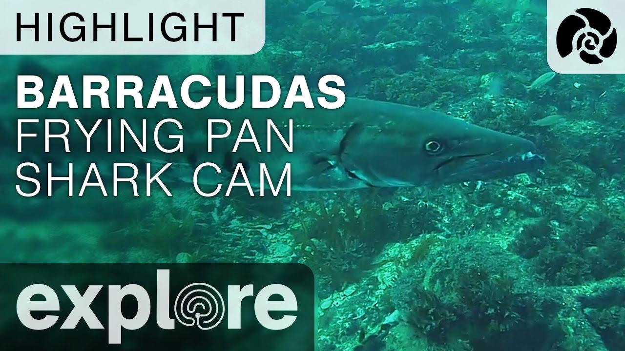 Frying Pan Tower Shark Cam Live Bruin Blog