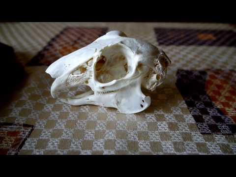 Как выварить череп