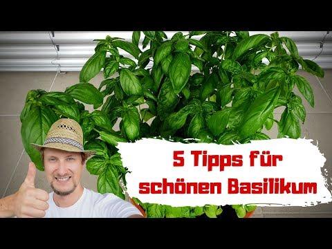 Basilikum Pflanzen 😍 5 Tipps, So Wird Er Groß & Gesund