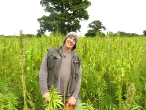 Environmental Cannabis Production In Surrey UK YouTube