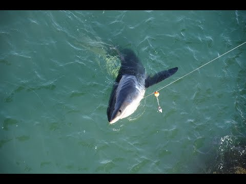 Fisherman Hooks into a Great White Shark (7-22-17)Goleta Pier